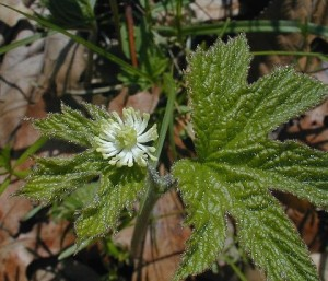goldenseal pictures