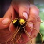 goldenseal root pictures
