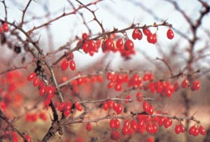 Barberry Images