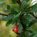 photos of Barberry