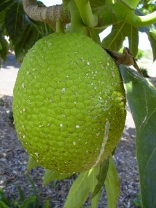 Breadfruit Images