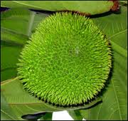 Breadfruit Pictures