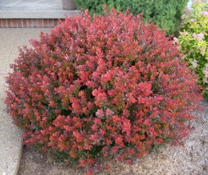 Barberry Crimson