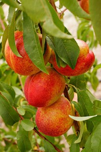 Nectarines Picture