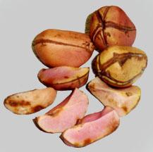kola nuts images