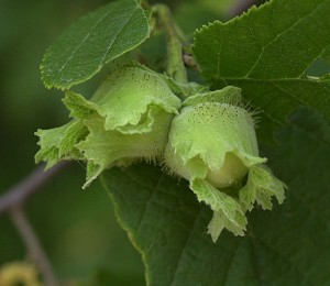 american breed of hazelnuts