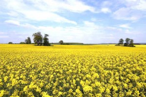 rapeseed oil seed field