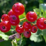Red Currant Photos