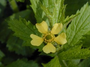 Images of Avens