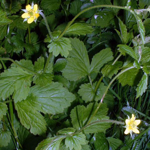 Pictures of Avens