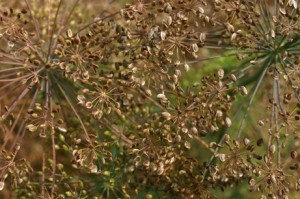Images of Dill Seed