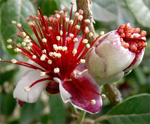 Photo of Feijoa Flower
