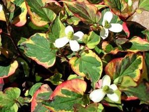 Houttuynia cordata Picture