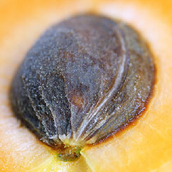 Images of Apricot Kernel