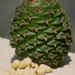 Images of Araucaria Bidwillii