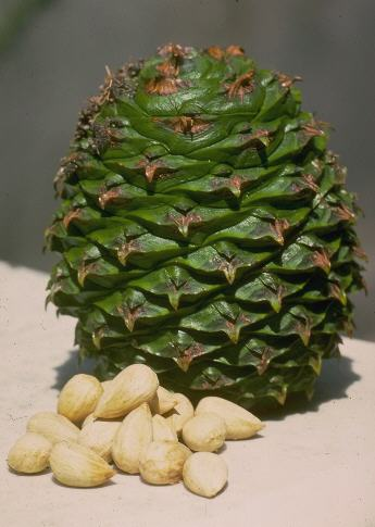 Images of Araucaria Bidwillii