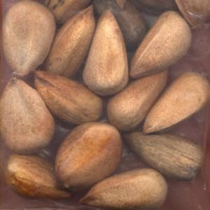 Pictures of Araucaria Bidwillii