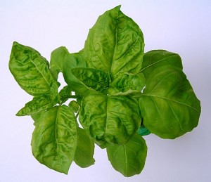 Images of Basil