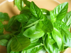 Pictures of Basil