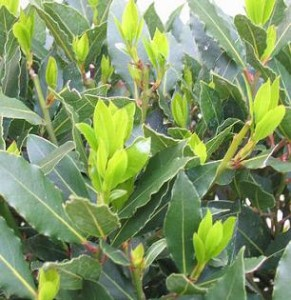 Images of Bay Leaf