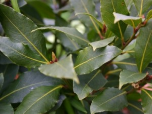 Pictures of Bay Leaf