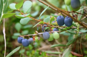 Photos of Bilberry