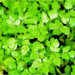 Pictures of Chervil
