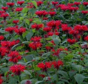 Images of Monarda Didyma