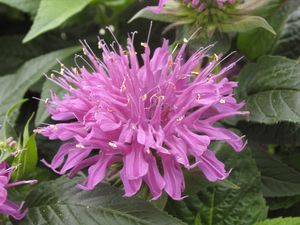 Pictures of Monarda Didyma