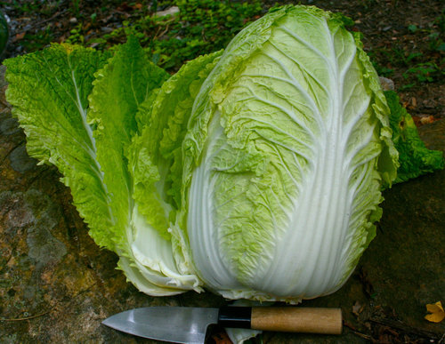 Pictures of Napa Cabbage