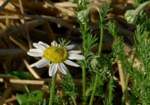 Images of Anthemis nobilis (Roman Chamomile)