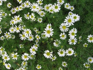 Photos of Anthemis nobilis (Roman Chamomile)