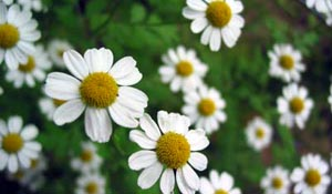 Pictures of Anthemis nobilis (Roman Chamomile)