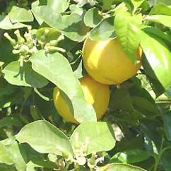 Bergamot oil Picture