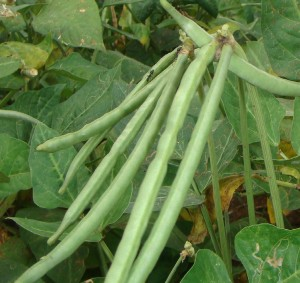 Pictures of Cowpea