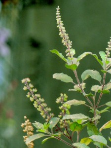 Photos of Holy basil