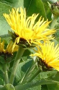Pictures of Inula helenium (Elecampane)