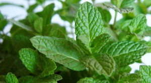 Mentha arvensis Picture