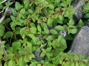 Pictures of Mentha arvensis