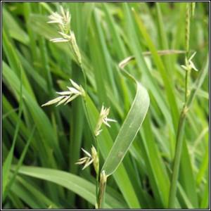 Photos of Sweet Grass
