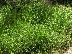 Pictures of Sweet Grass