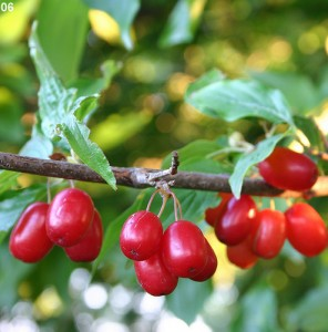 Images of Cornelian Cherry