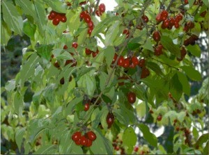 Photos of Cornelian Cherry