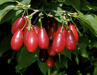 Pictures of Cornelian Cherry