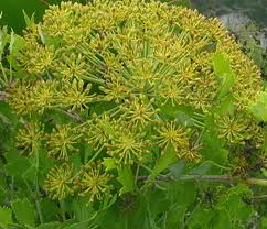 Pictures of Galbanum