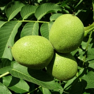 Images of Juglans Regia