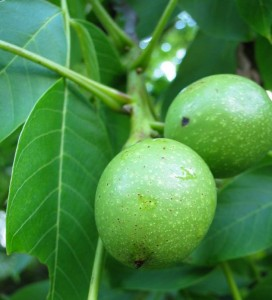 Pictures of Juglans Regia