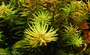 Limnophila Aromatica Picture
