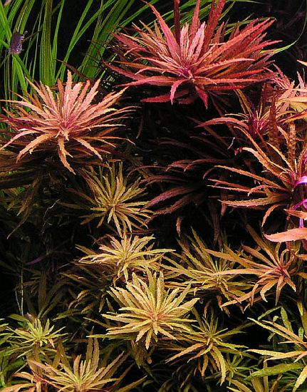 Images of Limnophila Aromatica