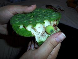 Images of Lotus Seeds